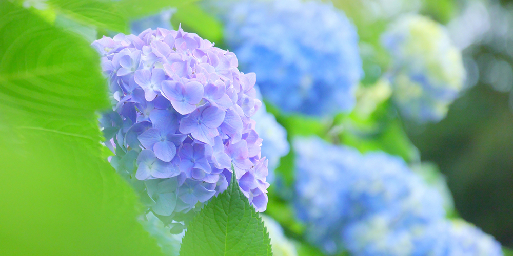 薄紫色の紫陽花の花